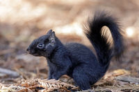 Color morphed Eastern Gray Squirrel details