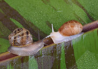 An albino garden snail, and a normal pigmented snail, Cornu aspersum, on a variegated red banana lea