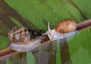 An albino garden snail, and a normal pigmented snail, Cornu aspersum, on a variegated red banana leaf
