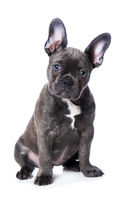 French bulldog puppy isolated on white background