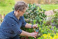 Dutch senior woman pruning branch of hydrangea