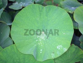 Lotusblume mit großem runden Blatt und abperlenden Wassertropfen
