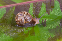 An common garden snail, Cornu aspersum, on a variegated red banana leaf.