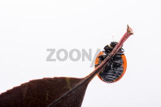 Beautiful red ladybug walking on a dry leaf