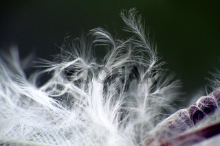 Fluff of plants, carry seeds in the wind
