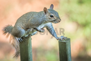 tiny squirrel on a fence