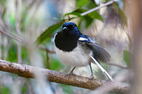 bird Madagascar Magpie Robin
