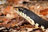 snake Malagasy Giant Hognose, Madagascar wildlife