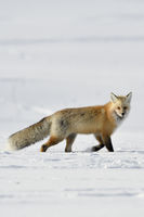 American Red Fox * Vulpes vulpes *, walking through snow