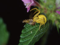 Crab spider deadline big hoverfly