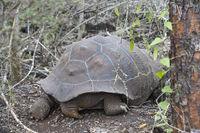 Galápagos giant tortoise (Chelonoidis nigra ssp)from behind, Galapagos Islands, Ecuador