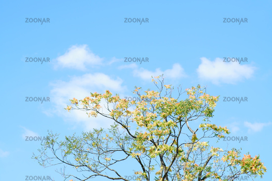 Treetop staghorn sumac in front of blue sky