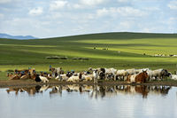 Cattle and sheep at a water hole in the Mongolian steppe, Mongolia