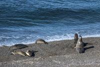 Sea lions resting under the sun, Patagonia Coastline, Peninsula Valdes, Argentina