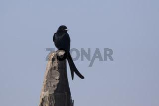Black drongo who sits on a wooden post in the middle of a meadow sunny