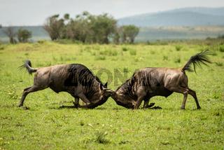 Two male blue wildebeest fight in grassland