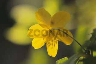 Gelbes Windroeschen (Anemone ranunculoides)