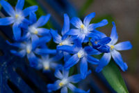 detailed macro close up of blue scilla flowers