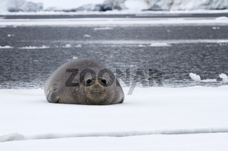 female southern elephant seal which lies on an ice float floating along the strait near the Antarctic Peninsula