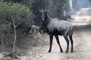 Male nilgai who stands on the road in the winter forest