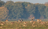 Fallow Deer, Dama dama, buck with his herd of does at the Eremitagesletten in Dyrehave, Denmark.