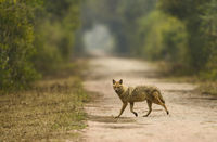 Indian Jackal, Canis aureus, Bharatpur, Rajasthan, India