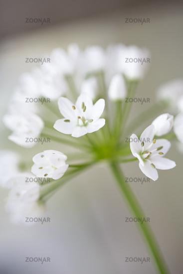 Naples leek (Allium cowanii), close-up view