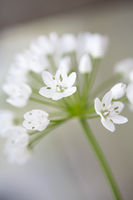 Neapel-Lauch (Allium cowanii), Nahaufnahme