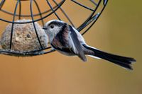 long tailed tit with fat ball