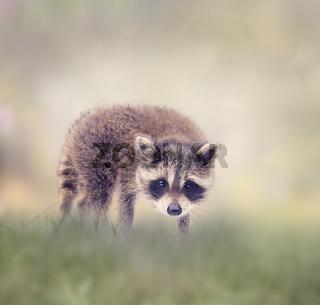 Baby raccoon walking in the grass