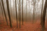 Autumn Forest Fog