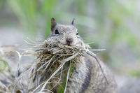 Mouthful California Ground Squirrel (Otospermophilus beecheyi) collecting nest material.