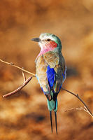 lilac-breasted roller, South Luangwa NP, Zambia