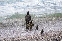 Mutter Ente mit Nachwuchs