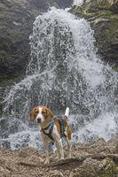 Beagle am Josefstaler Wasserfall