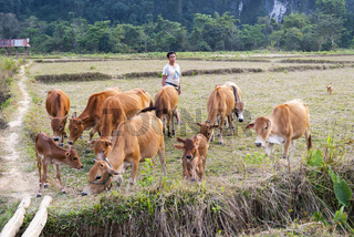 Cows on dry rice paddy