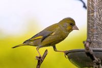 young greenfinch feeding