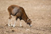 Mouflon, ovis musimon, female adult sheep feeding in winter with copy space.