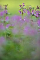 Purple deadnettle
