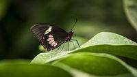 transandean cattleheart swallowtail butterfly