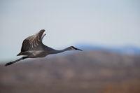 Sandhill Cranes Bosque del Apache Wildlife Reserve New Mexico USA