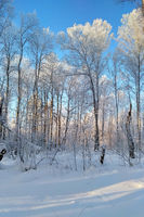 Winter Forest Landscape.