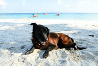 Portrait of old black dog on the beach.