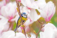 Blue tit bird in a Magnolia tree