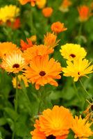 Ringelblume, Calendula, Officinalis
