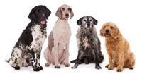 Vier Hunde isoliert auf weißem Hintergrund