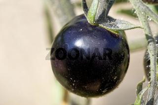 Schwarze Tomate