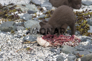 Puppy Commanders blue arctic fox that eats a GUILLEMOT on the seashore near the burrow