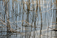 old reed in a lake