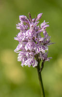 Common spotted-orchid 'Dactylorhiza fuchsii'